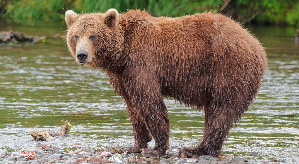 Kamchatka Brown Bear near Dvuhyurtochnoe