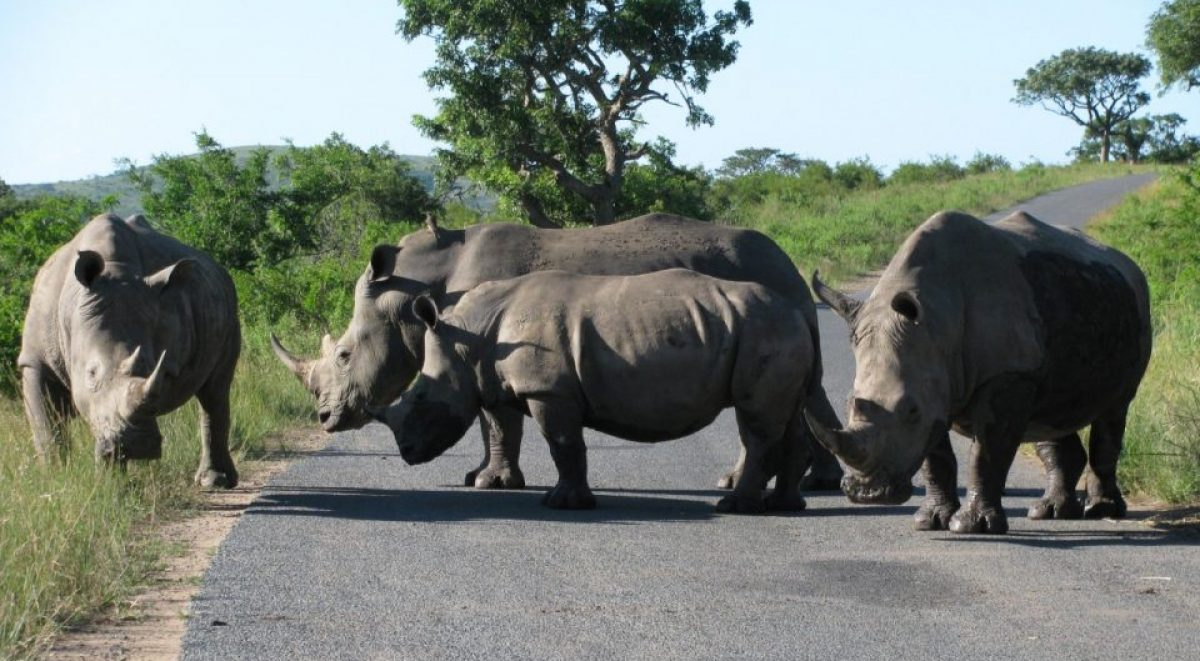 Rhinos crossing a road