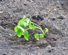 Panevėžio moterų pataisos namuose užderėjo derlius